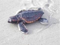 loggerhead-sea-turtle-hatchling