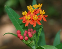 milkweed-plant