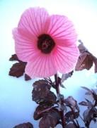 false-roselle-bloom